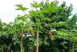 Papaya Leaf Cancer Treatment Program | Dr Clark Stores USA